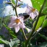 Gardening 2010, Part Three - 101_3785.JPG