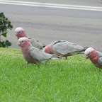 Wollongong - wilde Papageien