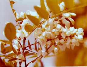 Photo: Robinia pseudoacacia - valkovaleakaasia Valkovaleakaasia on amerikkalainen hernekasvien (Fabaceae) heimoon kuuluva puulaji, jota arvostetaan sen erityisen kovan ja lahoamista vastustavan puuaineksen vuoksi. Sitä on 1600-luvulta alkaen tuotu myös Eurooppaan, jossa se on monin paikoin karannut luontoon muodostaen nykyään muun muassa Unkarissa laajoja metsiköitä.