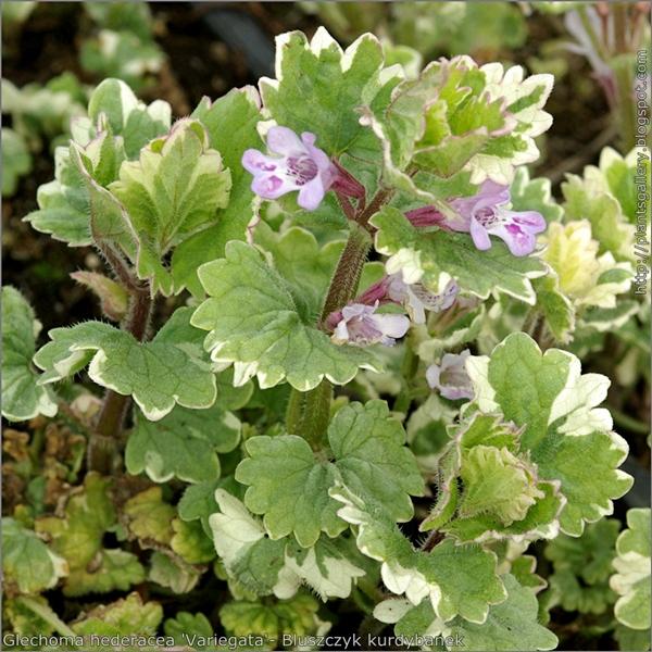 Glechoma hederacea 'Variegata'- Bluszczyk kurdybanek