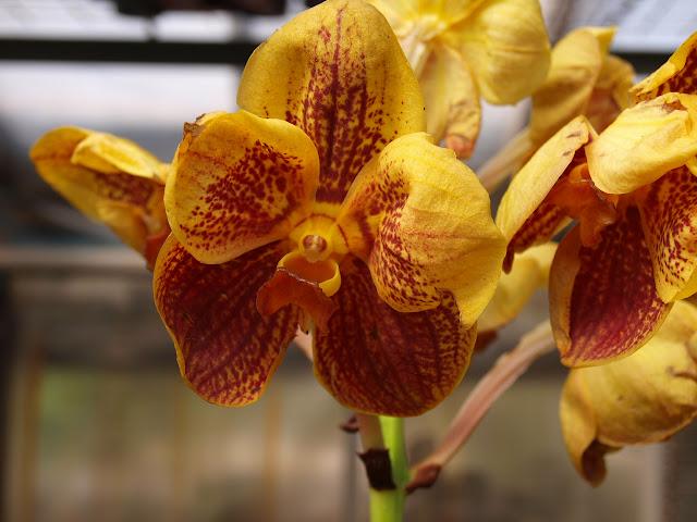 Растения из Тюмени. Краткий обзор - Страница 9 Vanda%252520orange%252520large