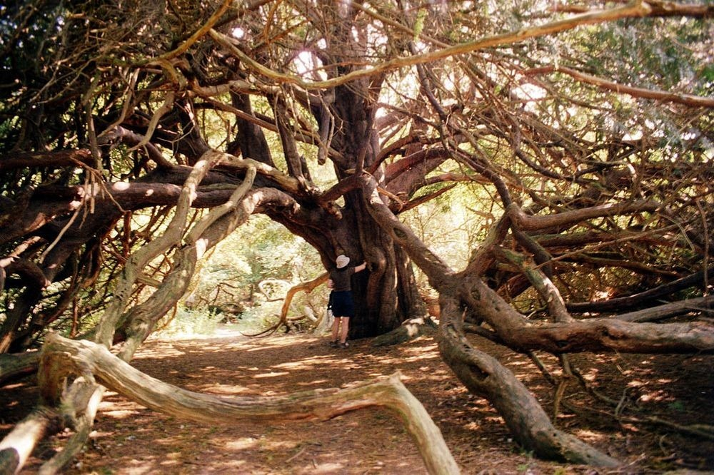 A antiga floresta de teixo de Kingley Vale
