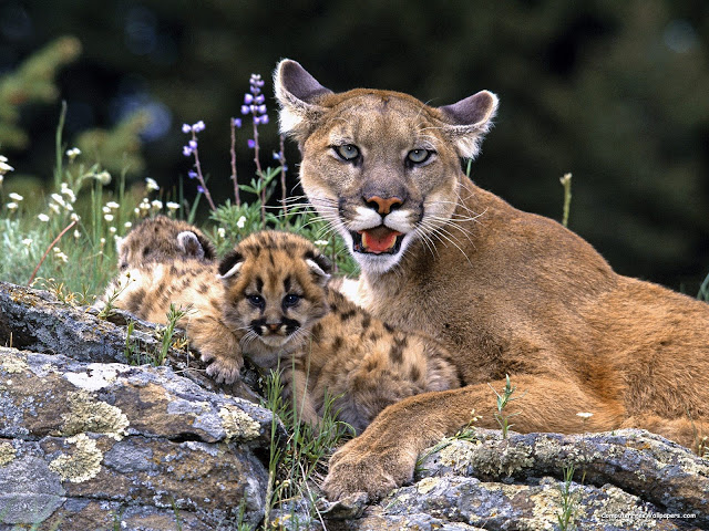 Mountain%252520Lion%252520With%252520Cub.jpg