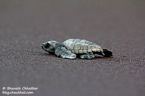 Newborn Olive Ridley sea turtle