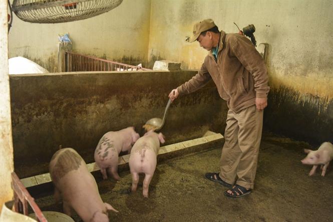 Mô hình nuôi lợn bằng thuốc bắc - 56c44b8ade756