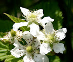 Blackberry blossoms.