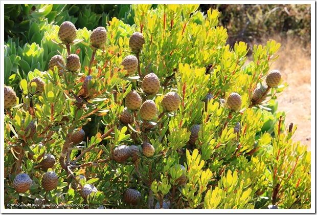 160813_UCSC_Arboretum_076_Leucadendron-muirii