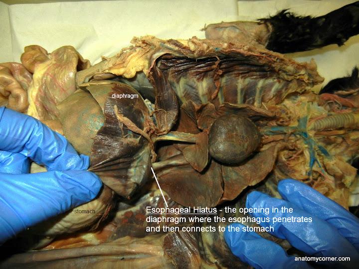 Virtual Cat Dissection - Organs of Thoracic Cavity | Anatomy Corner