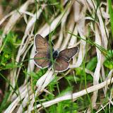 Heodes tityrus subalpinus (SPEYER, 1851), mâle. Fex Platta, 1850 m (Grisons, CH), 10 juillet 2013. Photo : J.-M. Gayman