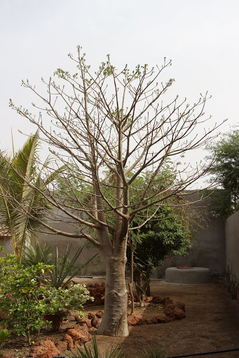 Adansonia digitata - baobab africain IMG_1018