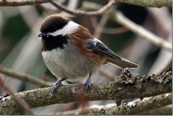 lopez chestnut sided chickadee 00000