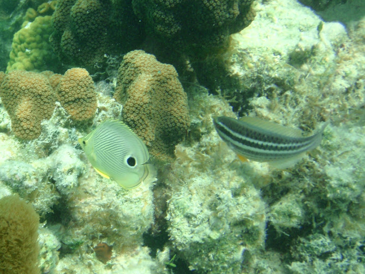 Chaetodon capistratus (Foureye Butterflyfish) and Scarus iserti (Juvenile Striped Parrotfish), Belize
