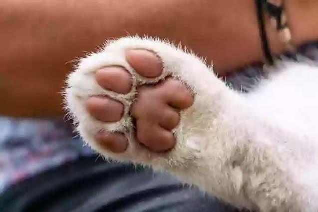 the first white tigress paws