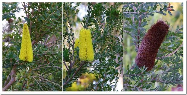 161127_UCDA_Banksia-praemorsa_001