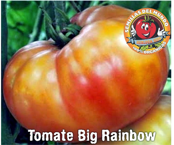 tomate big rainbow arcoiris exquisito y colorido 60 0 natural seeds. Black Bedroom Furniture Sets. Home Design Ideas