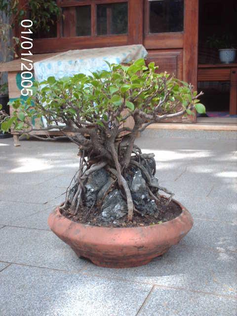 Ficus Microcarpa do Roberto Teixeira... PICT1712