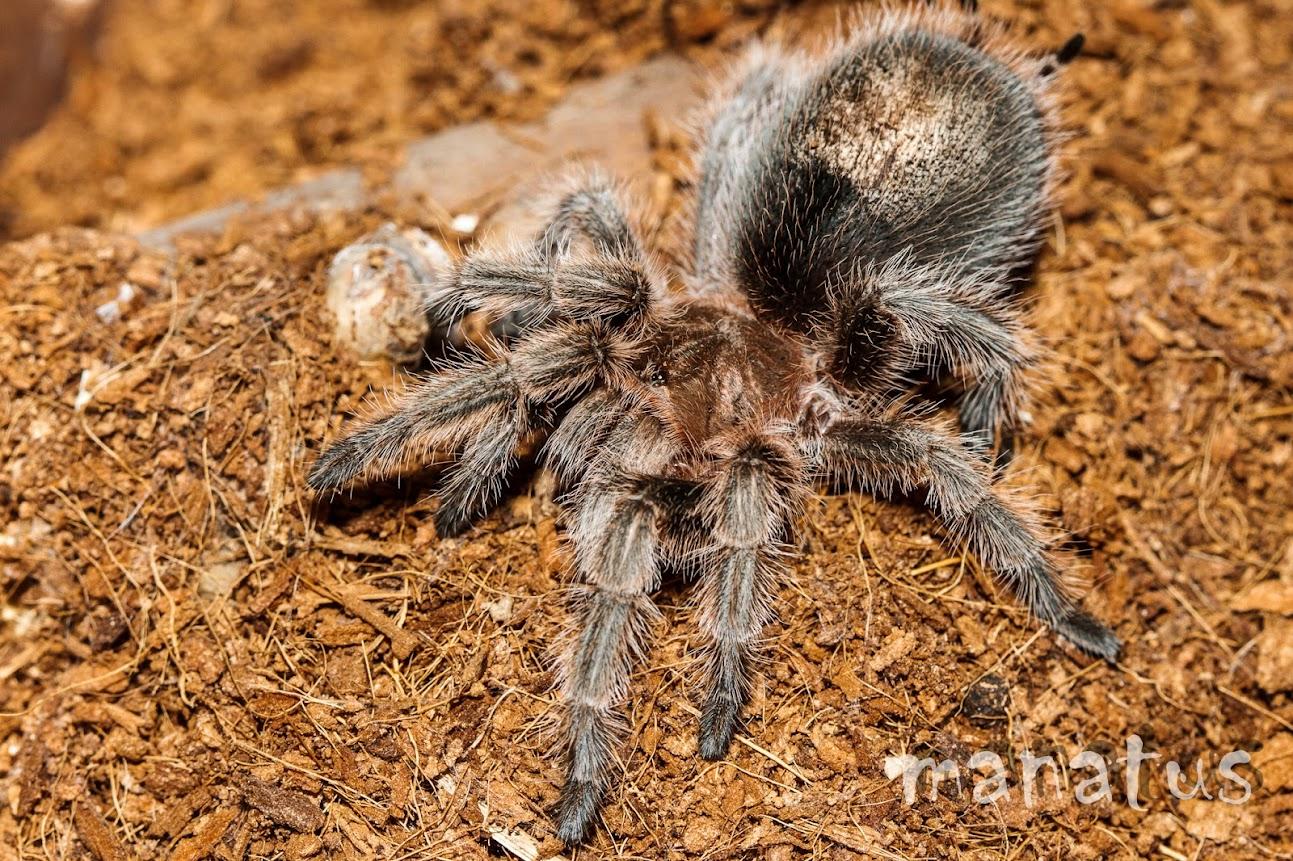 manatus foto araña tarantula