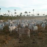 Zébus. Colider (Mato Grosso, Brésil), 24 janvier 2010. Photo : Cidinha Rissi
