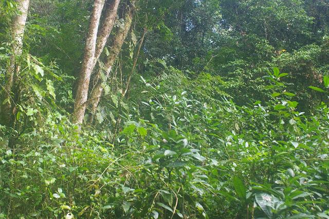 Fleurs fréquentées par divers Parides. Crique Tortue, près de Saut Athanase (Guyane). 22 novembre 2011. Photo : J.-M. Gayman