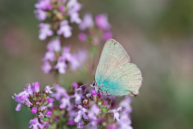 Callophrys rubi (L., 1758). Plateau de Coupon (511 m), Viens (Vaucluse), 10 mai 2014. Photo : J.-M. Gayman