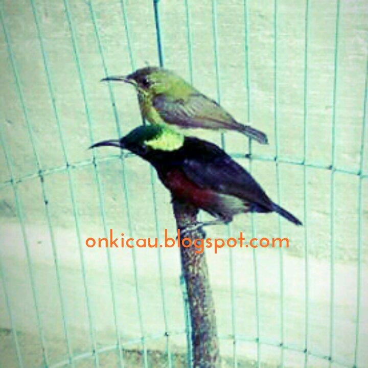 Perawatan Khusus Untuk Kolibri Ninja Konin Menjelang Lomba On Kicau