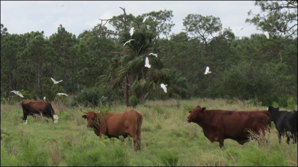 Cattle Egret Bird (3)