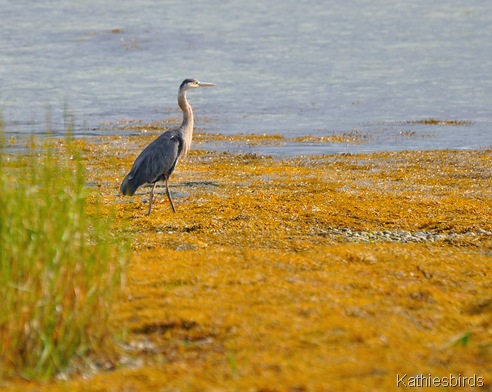 7. great blue heron-kab