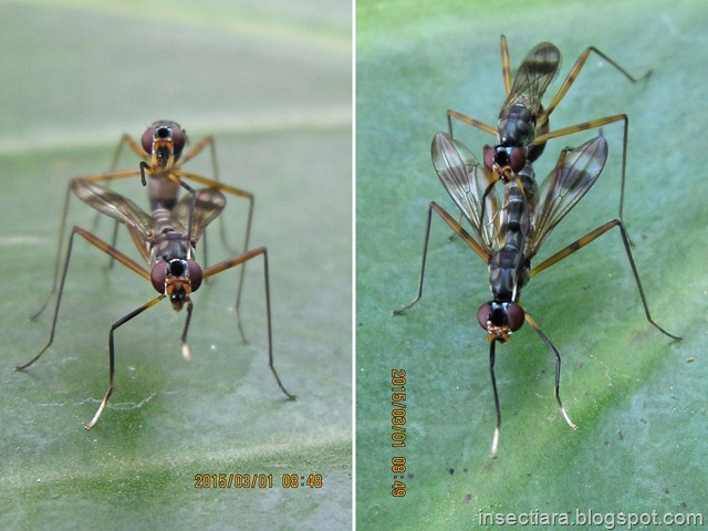 Lalat Micropezidae (stilt-legged flies) kawin 02