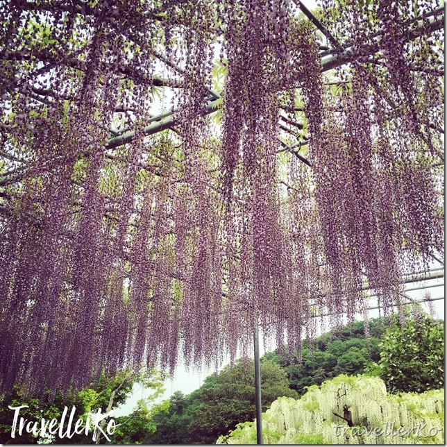 在最美的季節遇見足利紫籐花卉公園:門票交通攻略實況(下)19