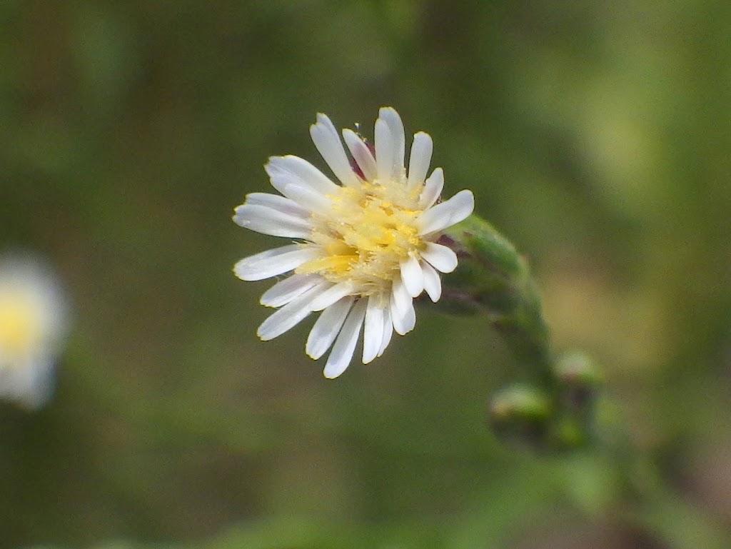 ホウキギクの花1