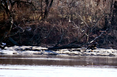 Bald Eagle in the Hackensack with fish. Streak in the water behind it is where it skimmed accoss the water to scoop up the fist....even cooler live.