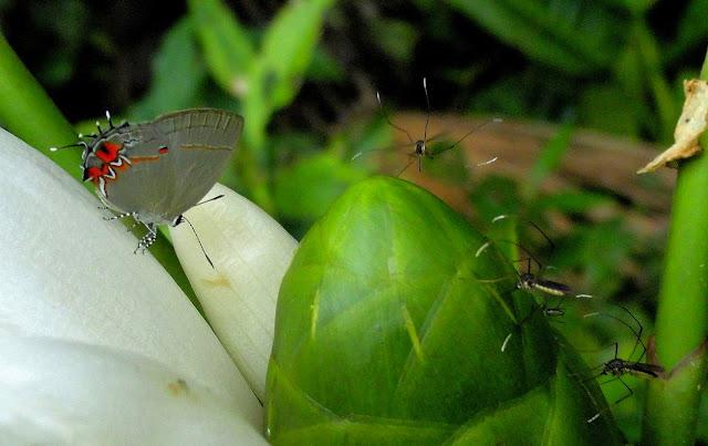 Calycopis anastasia FIELD, 1967. Colider (Mato Grosso, Brésil), avril 2011. Photo : Cidinha Rissi