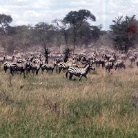 69 zebra Serengeti.jpg