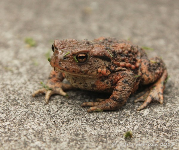 Toad-1