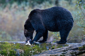 Photo: Gorging on salmon