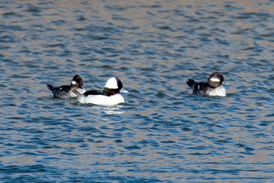 Bufflehead Male and Females IMG_0279