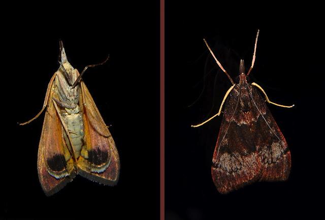 Crambidae : Pyraustinae : Uresiphita ornithopteralis GUÉNÉE, 1854. Umina Beach (NSW, Australie), 4 octobre 2011. Photo : Barbara Kedzierski