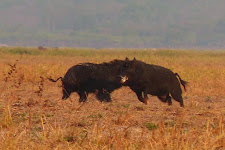 "The boar on the right is ""getting the hell of out of there"" before the other boar slashes him any more!"