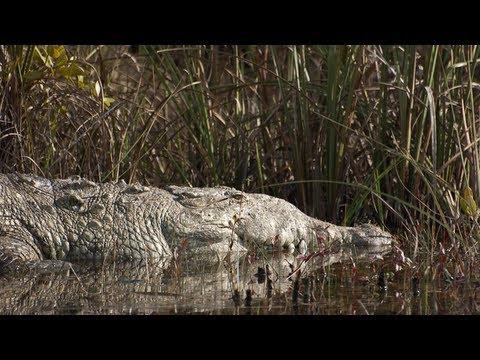 Questões e Fatos sobre Crocodilianos gigantes: Transferência de debate da comunidade Conflitos Selvagens.  - Página 2 6%2520metros