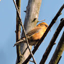 Common Crossbill, Crossbill, Red Crossbill