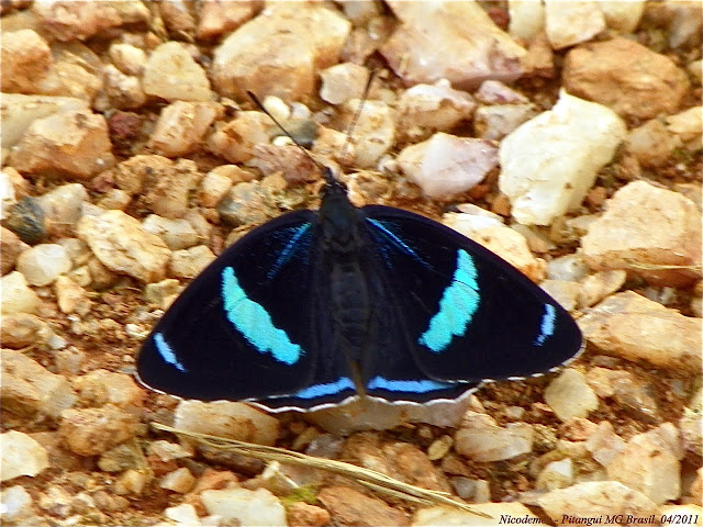 Diaethria clymena janeira (C. FELDER, 1862). Pitangui (MG, Brésil), 27 avril 2011. Photo : Nicodemos Rosa
