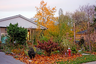 Photo: This is our office/home garden in the fall, with all it's fall colour. The dark purple is a Maries Viburnum and the gold tree in the background is a Frisia Golden Black Locust.