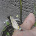 Striped Albatross Butterfly