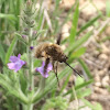 Greater Bee-Fly