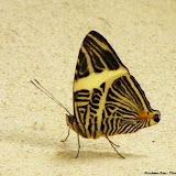 Colobura dirce dirce (LINNAEUS, 1758). Pitangui (MG, Brésil), 6 mars 2013. Photo : Nicodemos Rosa