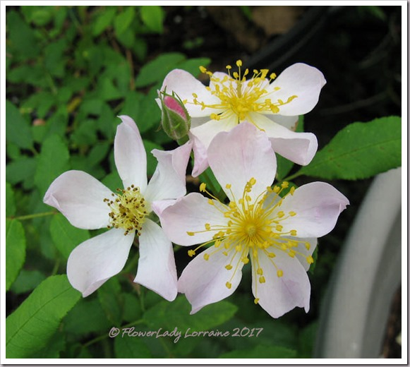 03-03-sacremento-cem-rose