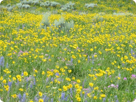 Lamar Valley Wildflowers