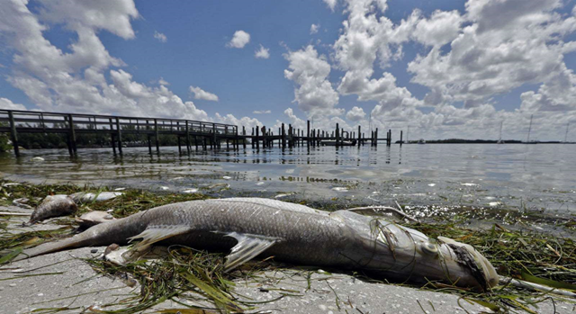 Dead fish lie on a beach in Florida, 14 Augusat 2018. A red tide in Florida has been killing thousands of marine animals, leaving beaches and shorelines covered with dead wildlife. Photo: Chris O'Meara / AP