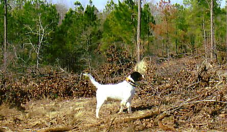 Feb 2008 - Dog @ Anderson Creek Hunting Preserve