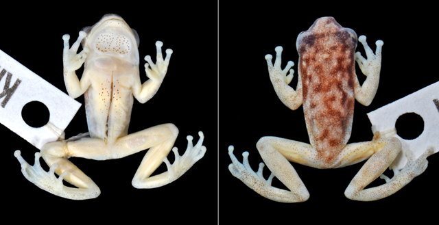 The newly discovered Ruvu spiny reed frog (Hyperolius ruvuensis), from Ruvu South Forest Reserve in Tanzania, has never been photographed in the wild and is only known from museum specimens collected in 2001. Photo: Chris Barret